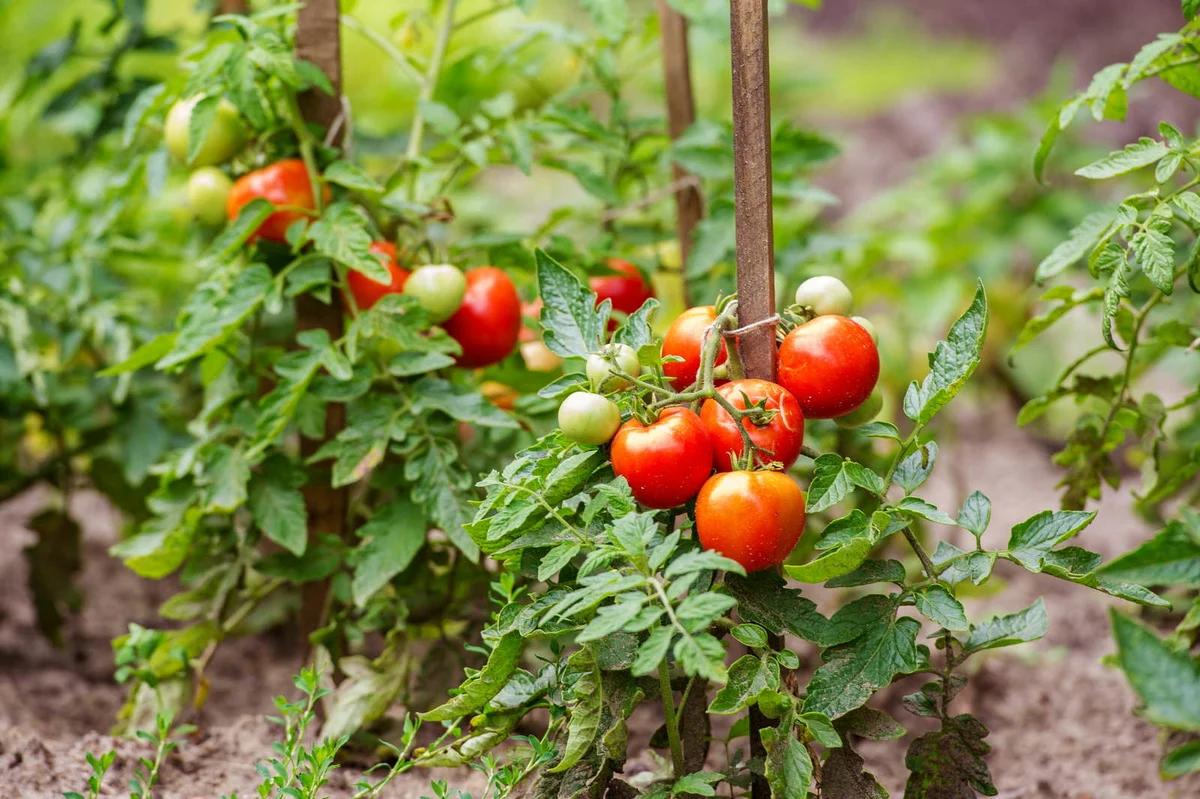 Грешки, които не бива да допускате при отглеждането на домати, ако искате добра реколта и здрави домати